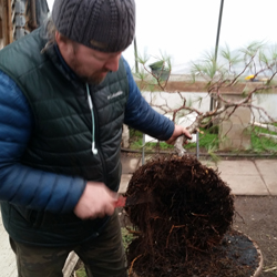 Repotting and root pruning at Bonsai West nursery