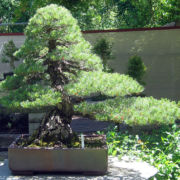 Japanese Five Needle Pine